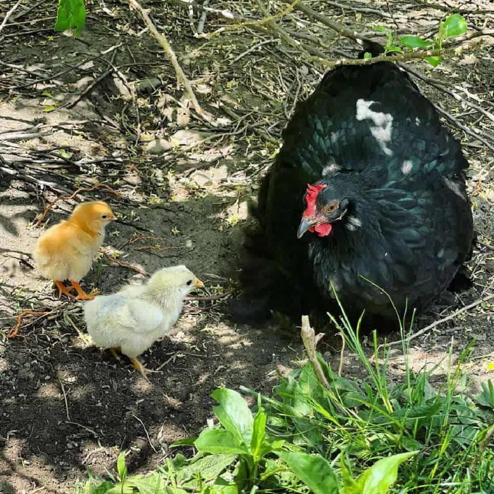 Bantam Egg Laying