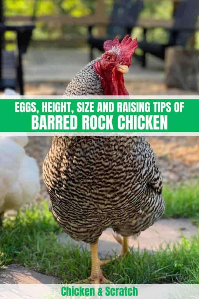 Barred Rock