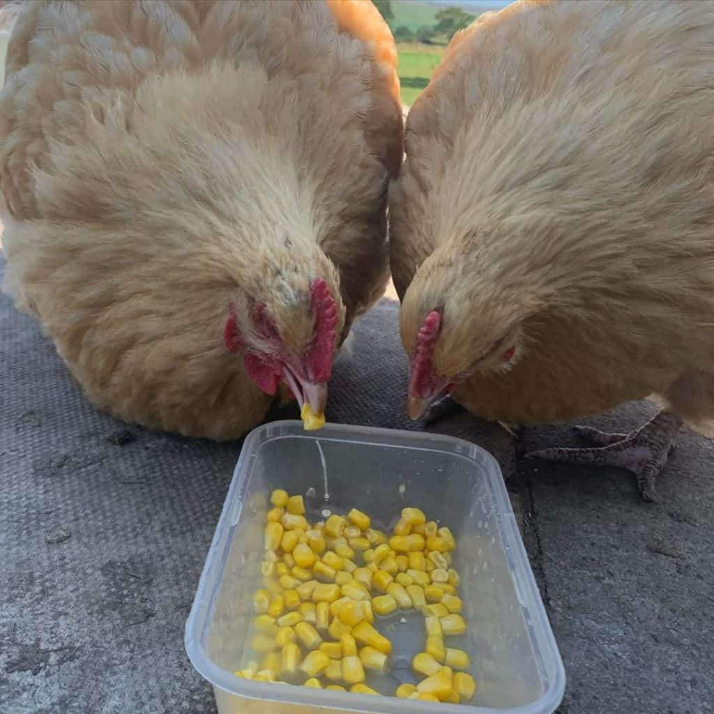 Orpington chicken health issues and care