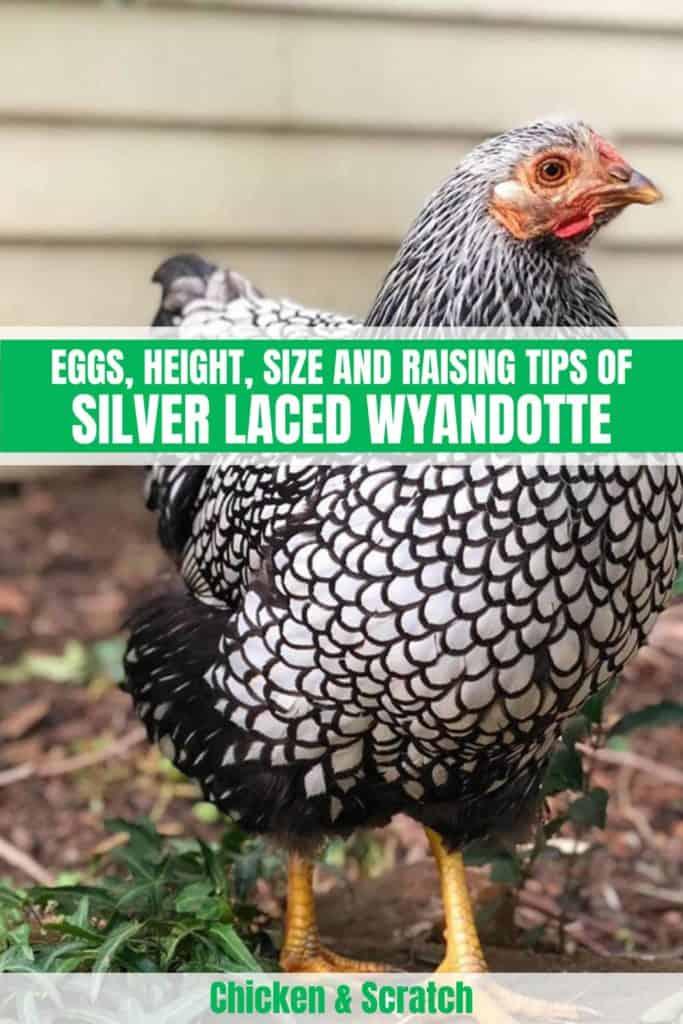 Silver Laced Wyandotte chicken