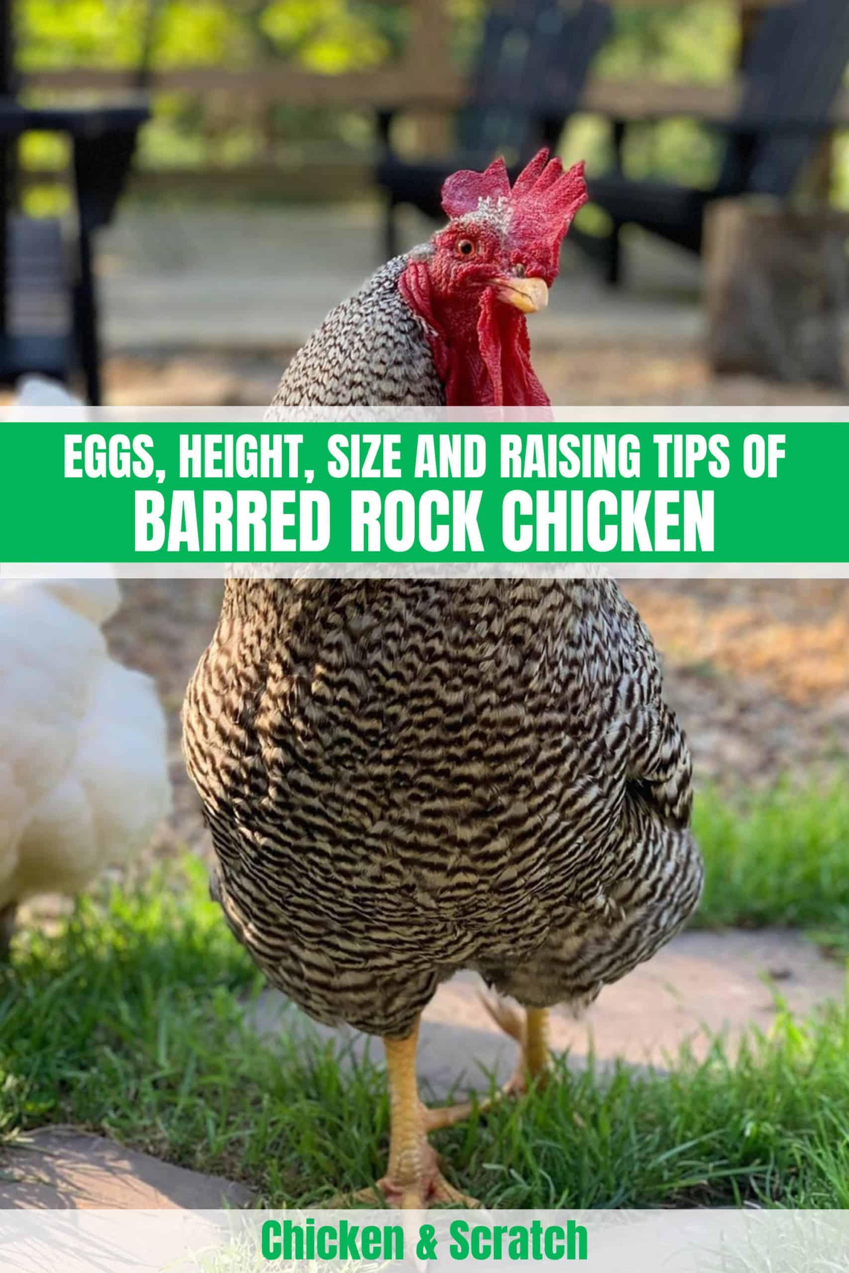 barred rock chicks