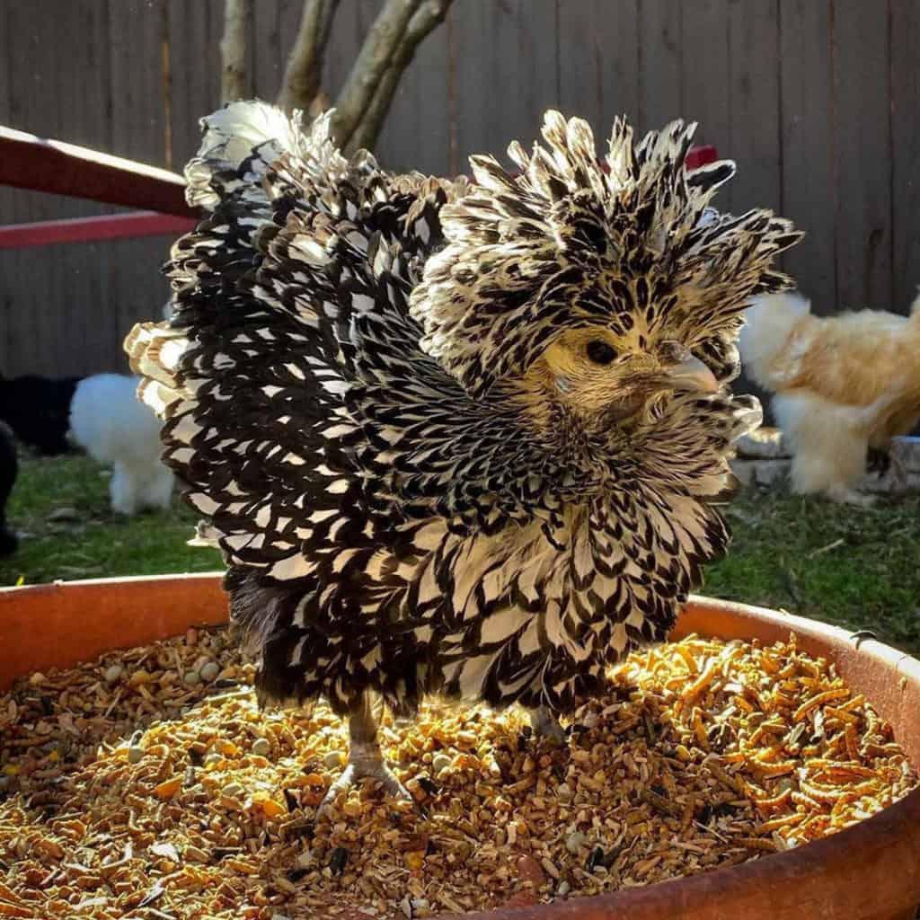 polish chickens