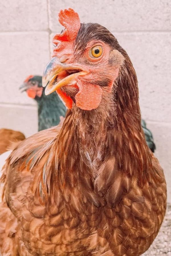 rhode island chicken Breed Standard and Appearance