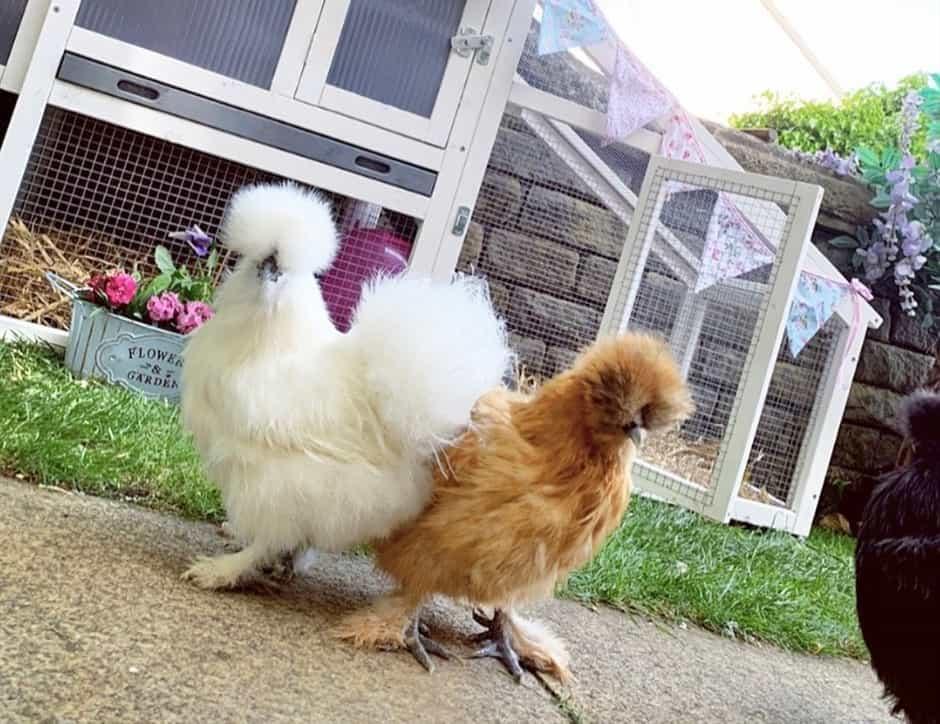 silkie chicken lifespan