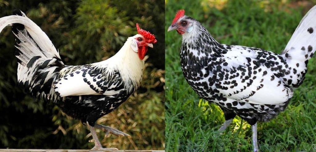 Hamburg Chicken