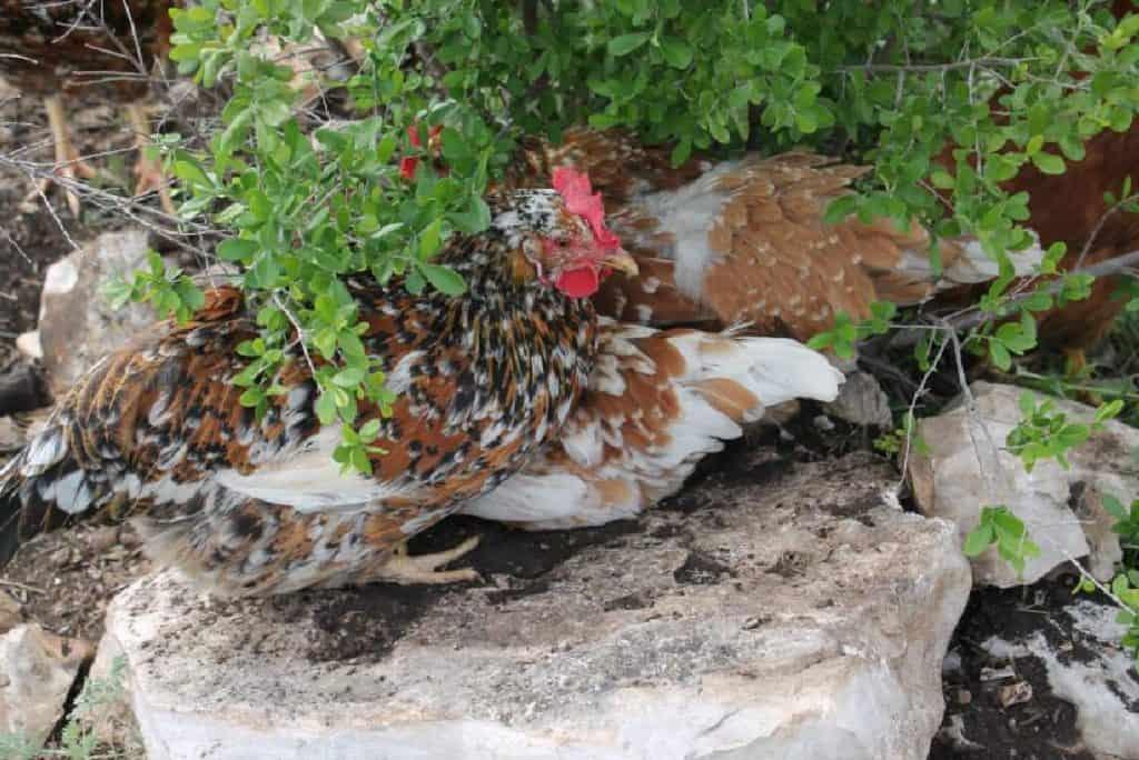 55 flowery hen