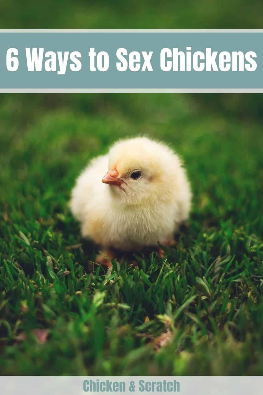 Sex Chickens