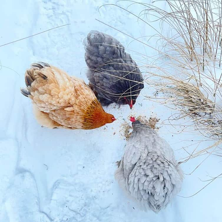 Tips for Raising Cochins