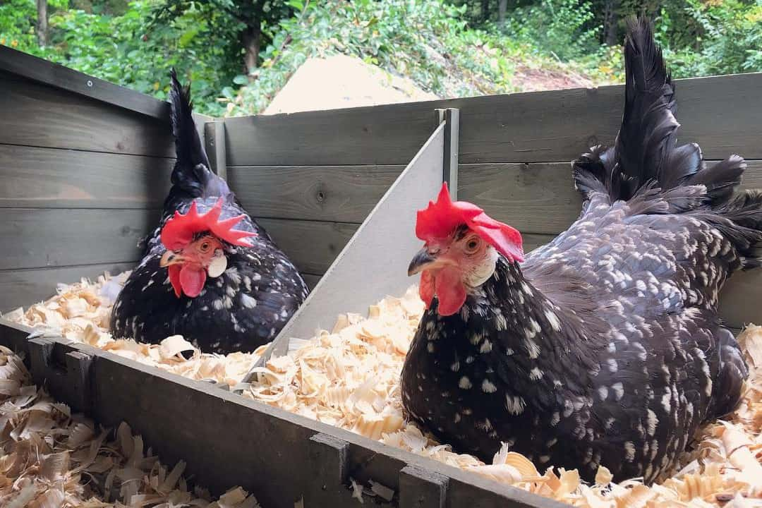 ancona eggs