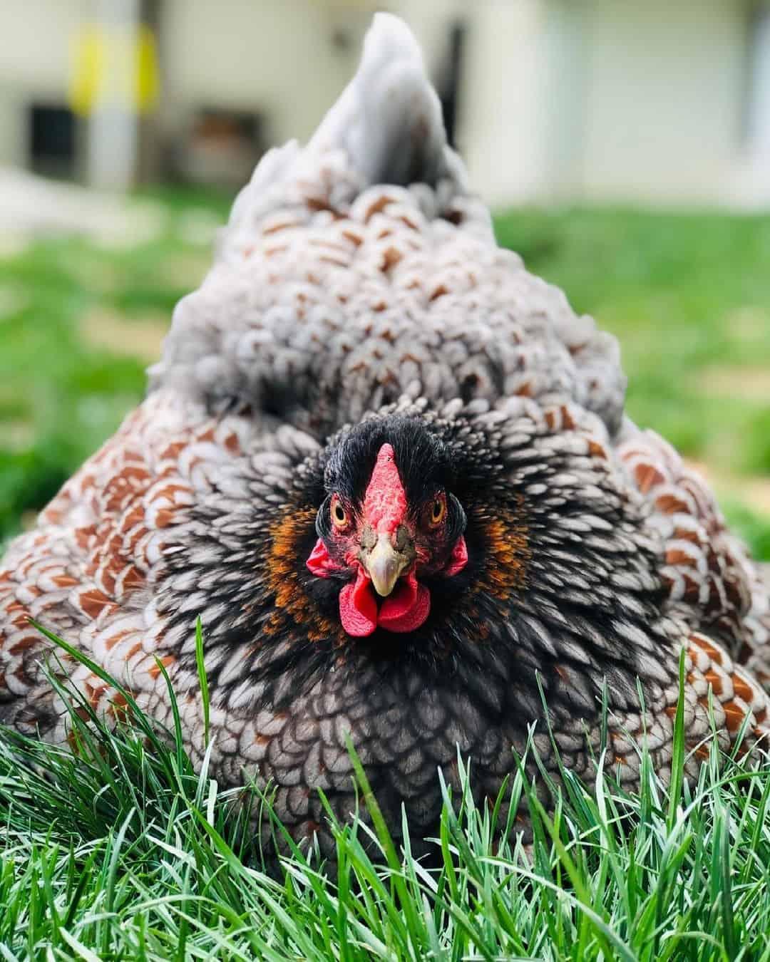 blue-laced red wyandotte hen