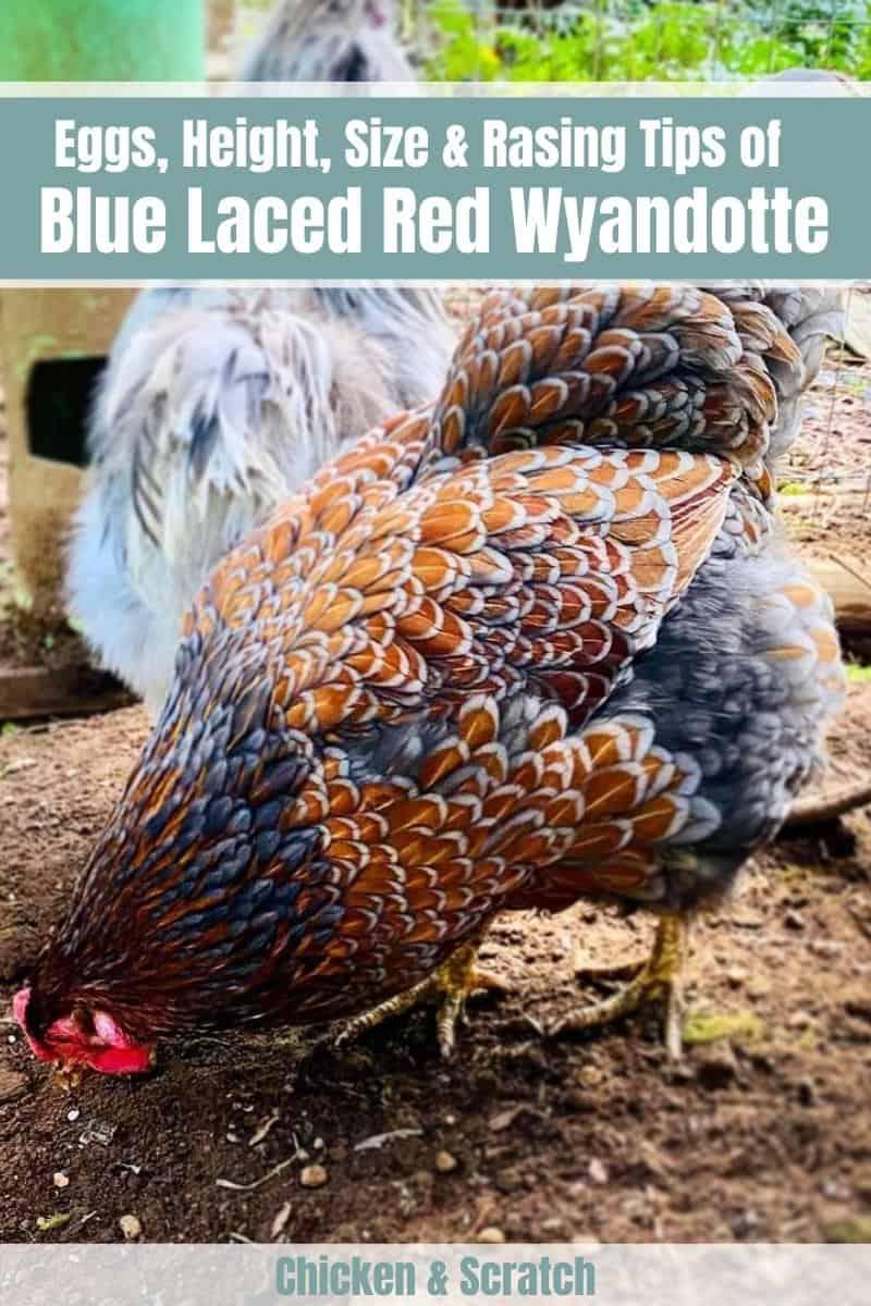 blue laced red wyandottes chicken