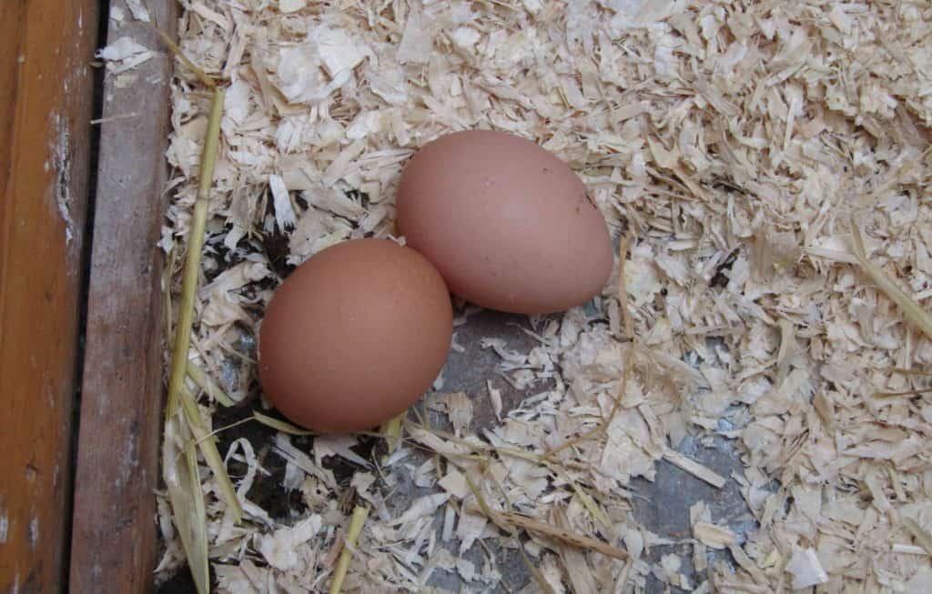 buckeye rooster