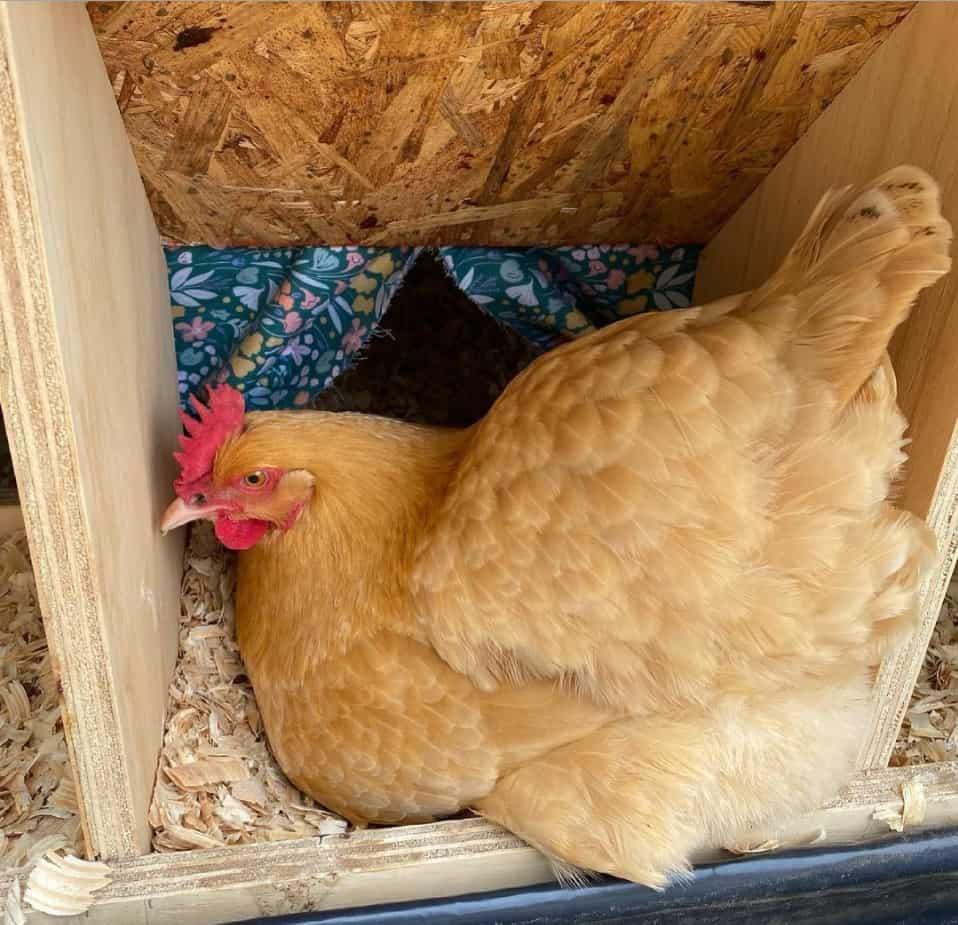 buff orpington chickens