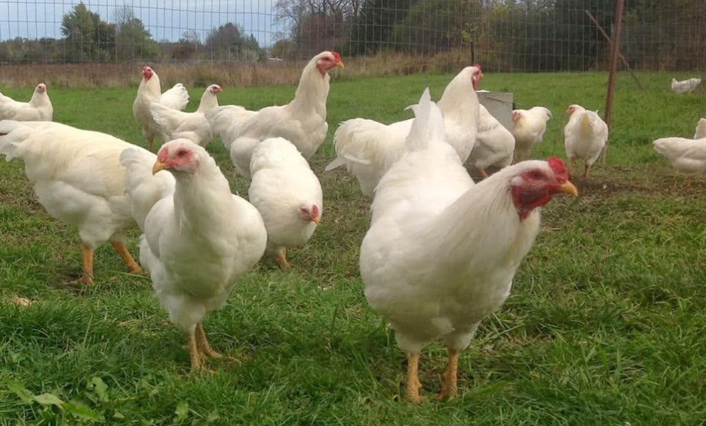 chantecler chickens