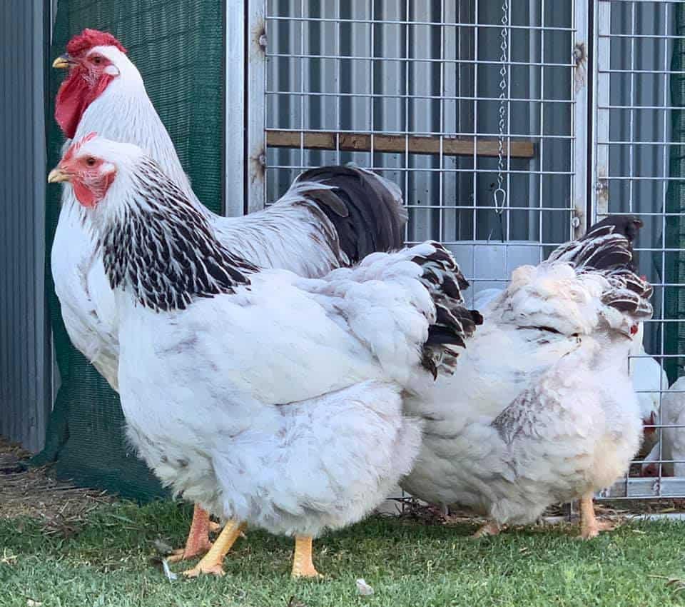 columbian chickens