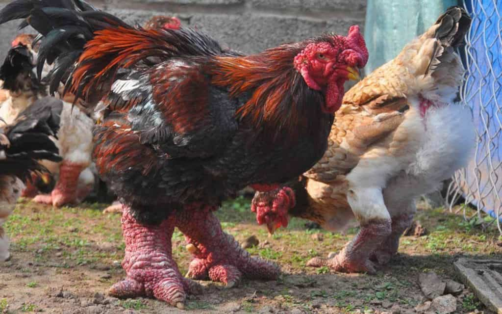 dong tao chickens
