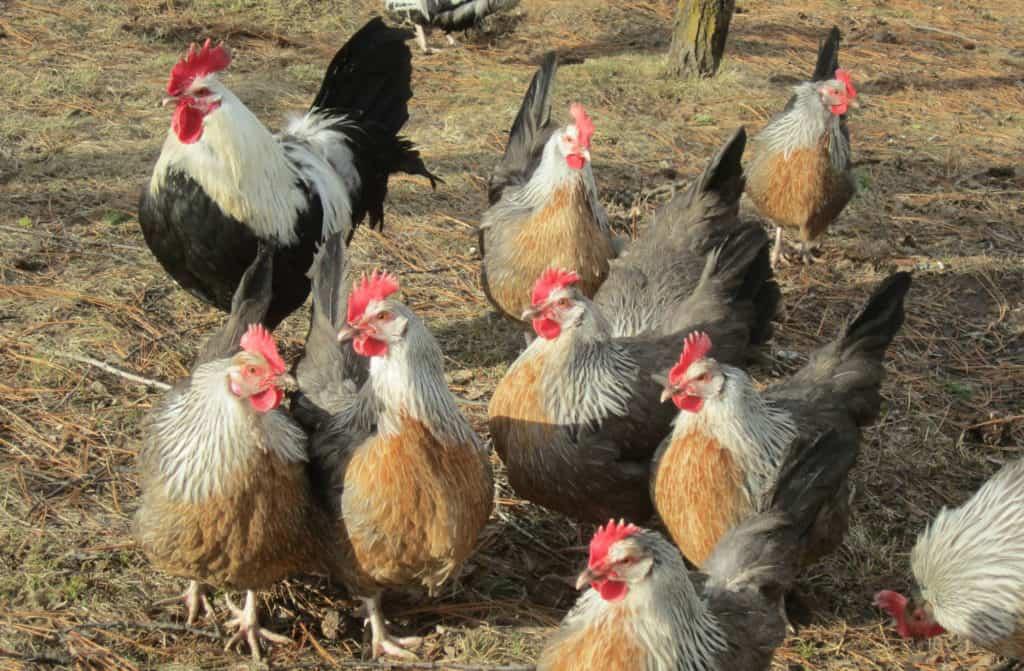 dorking chicken