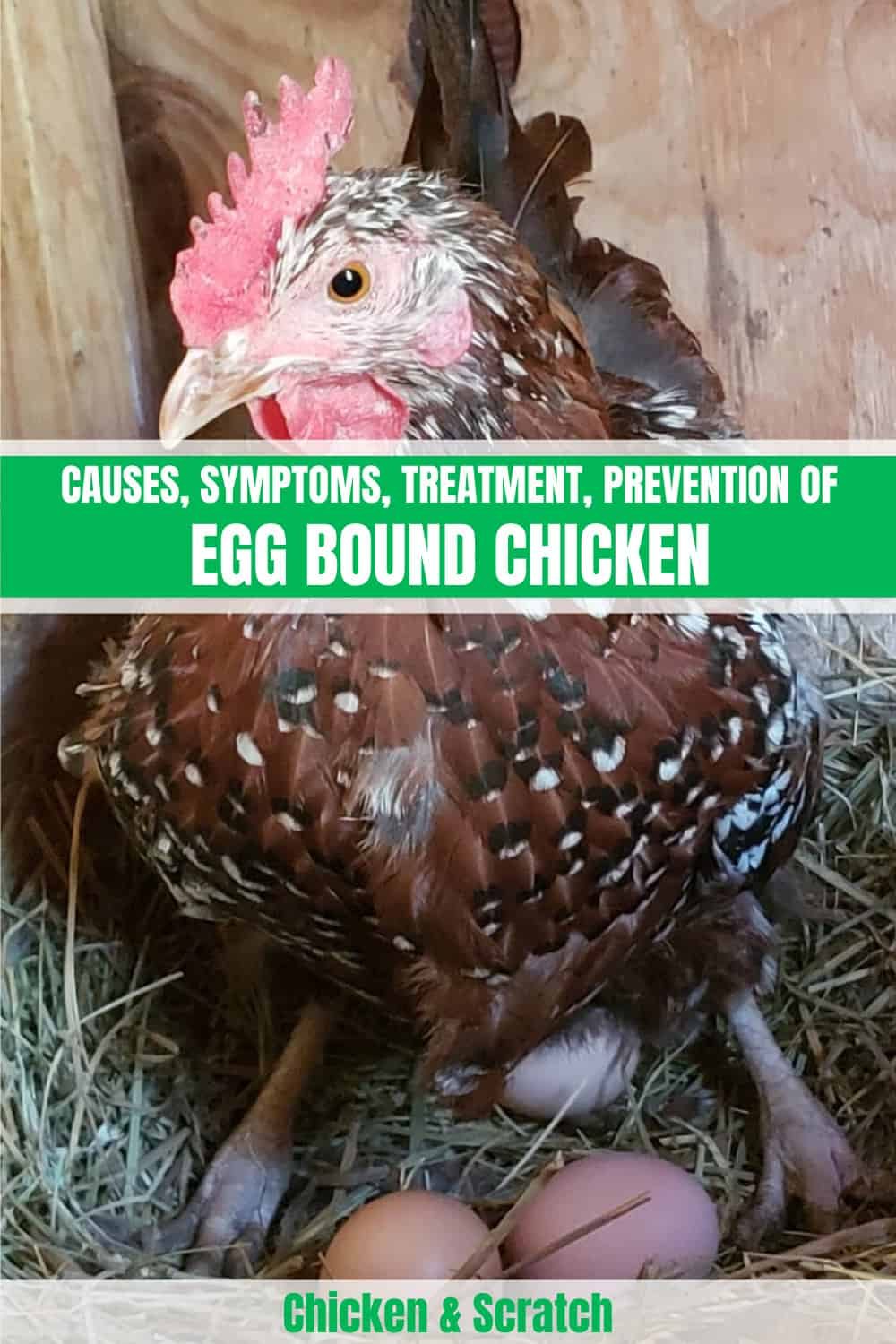 egg bound chicken