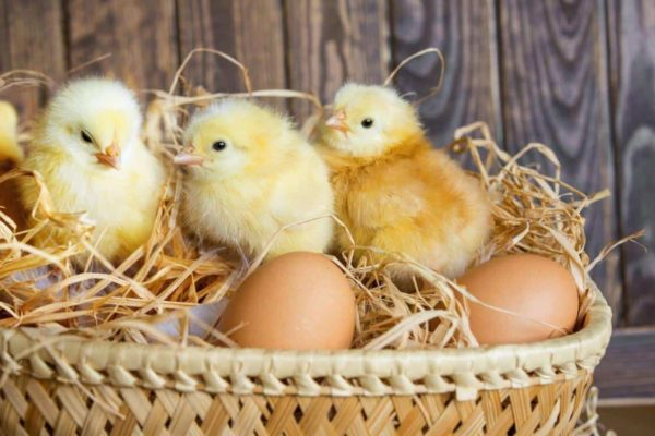 15+ Facts About Fertilized Chicken Eggs