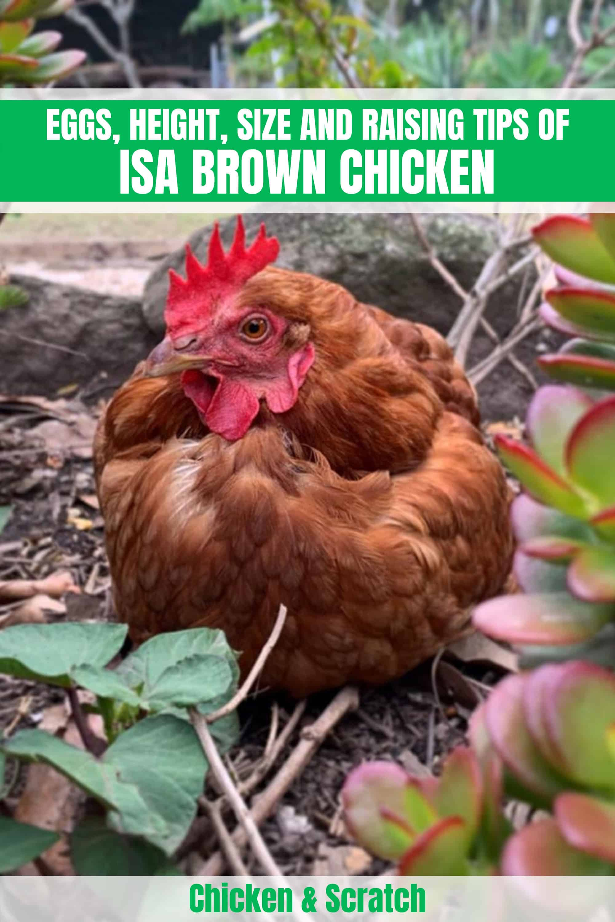 isa red chickens