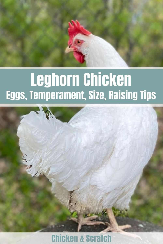 leghorn chicken hen