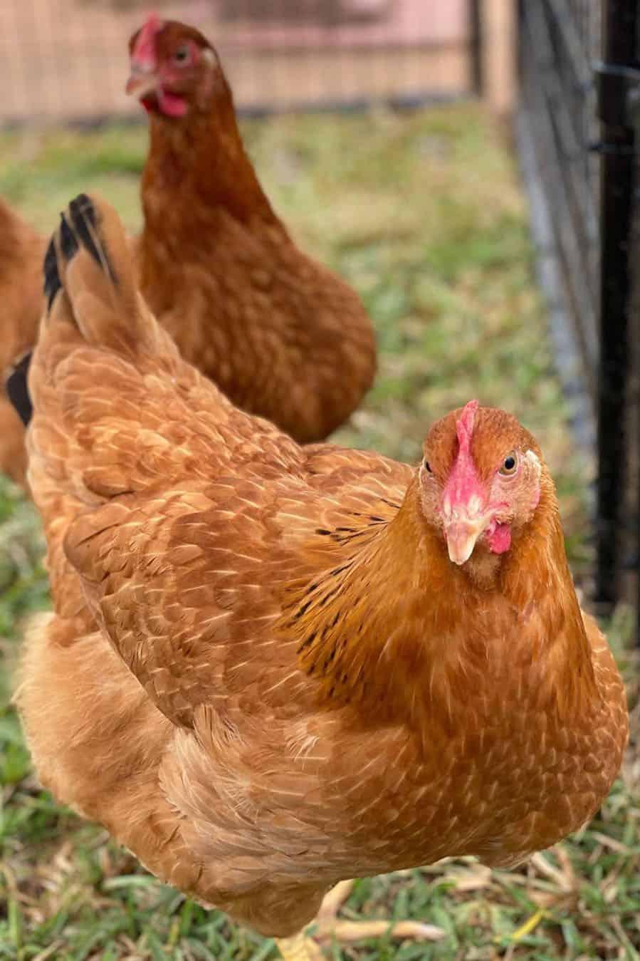 new hampshire reds chicken