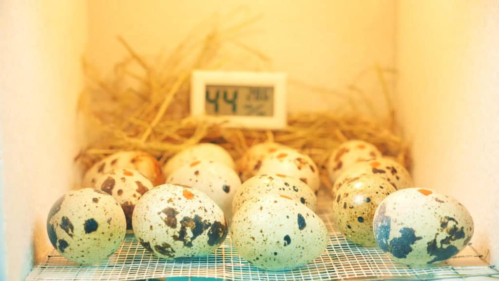 raising quail for eggs
