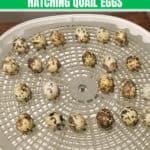 10 Tips on Hatching Quail Eggs – Beginner's Guide