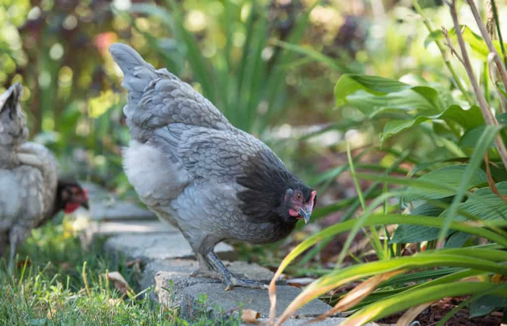 sapphire gem chickens