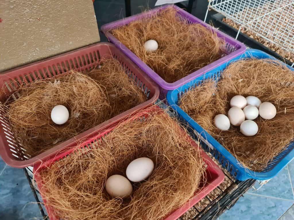 seabright chickens