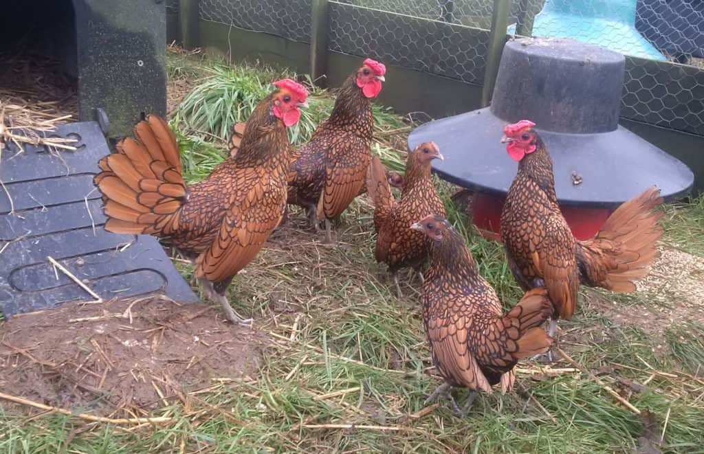 sebright chickens