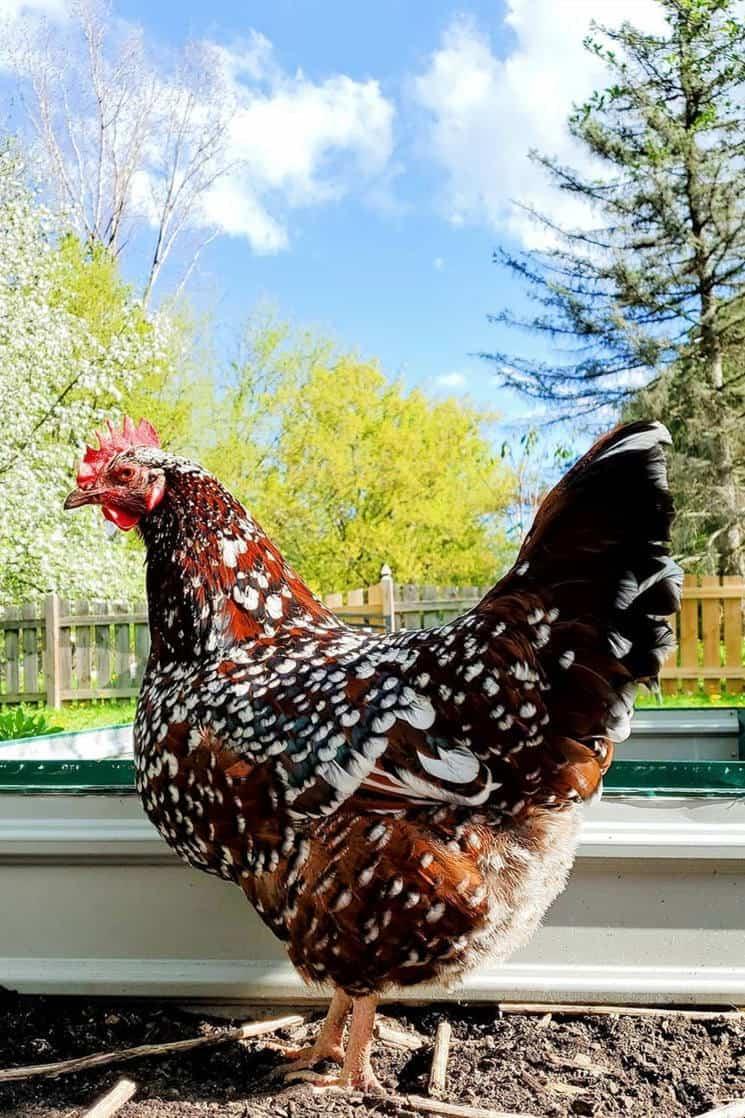 speckled sussex chicken