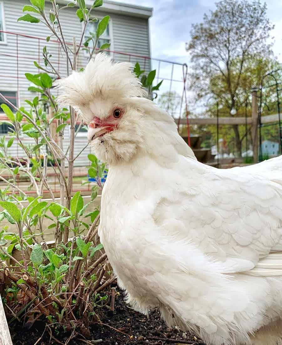 sultans chickens
