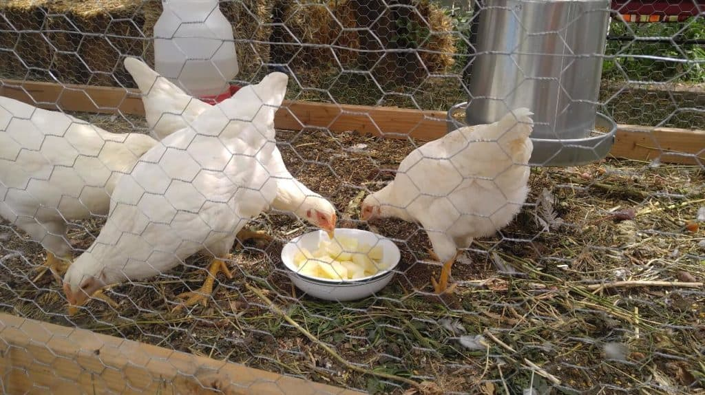 white rock hen