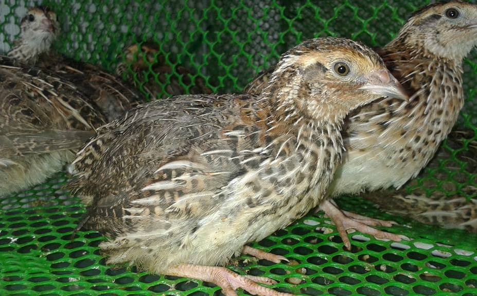 raise quail for meat