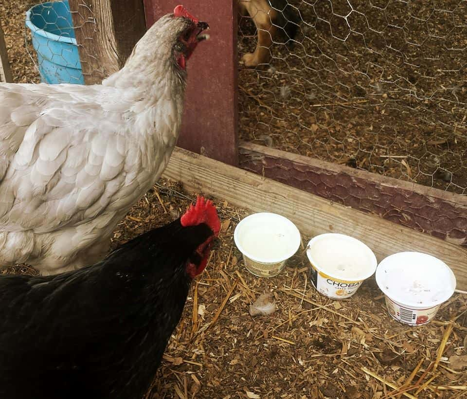 Caring for Chickens with Diarrhea