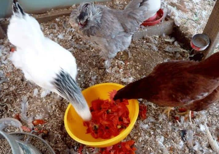 Chickens-Eat-Tomatoes