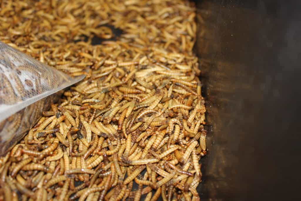 How to Start Your Own Mealworm Farm