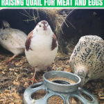 Raising Quail for Meat and Eggs: Everything You Need to Know