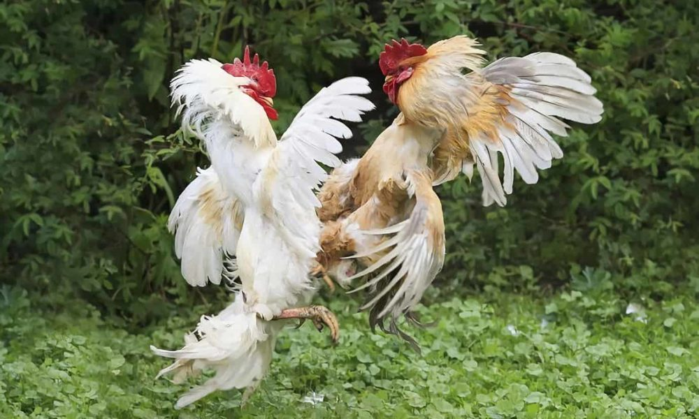 aggressive rooster