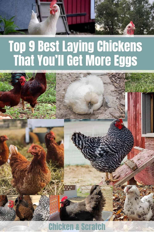 best chicken breeds for eggs