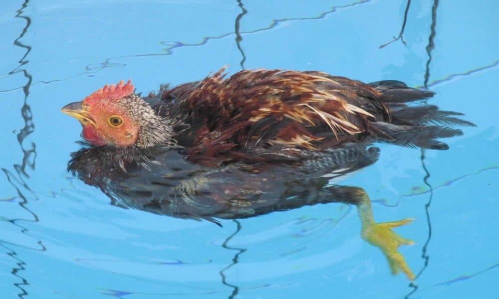 can chickens swim