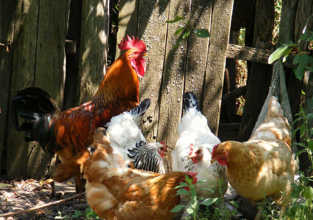 chicken and rooster mating