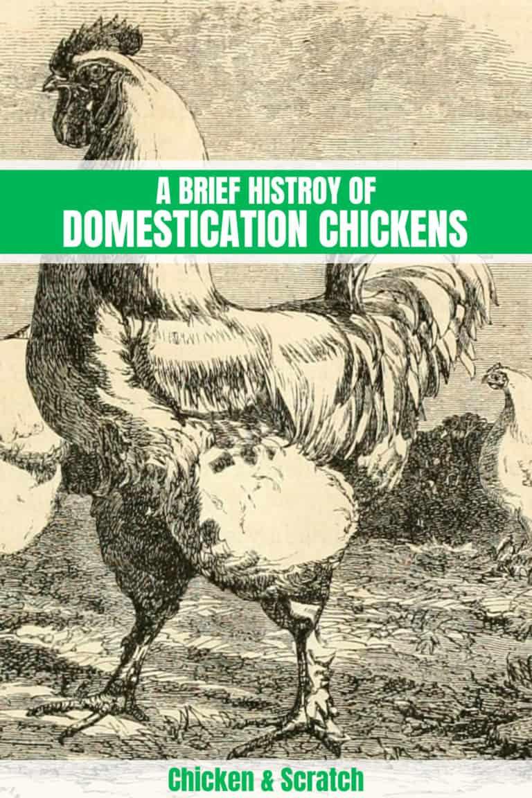 chicken origins