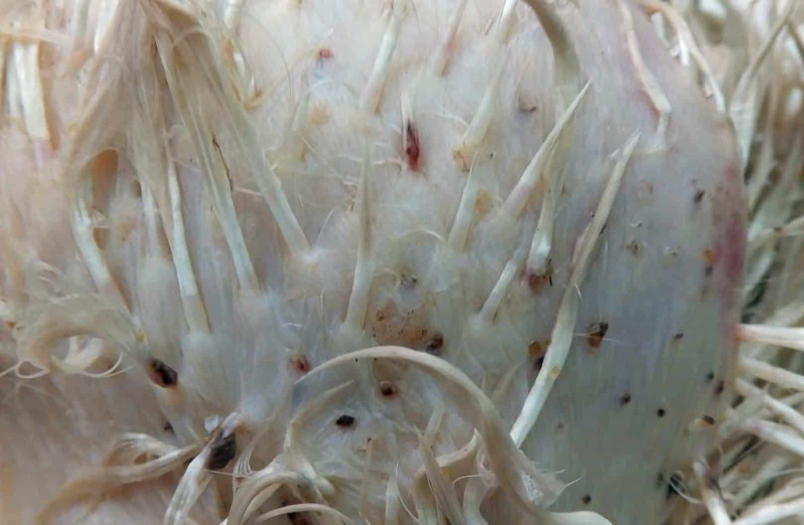 chicken parasites