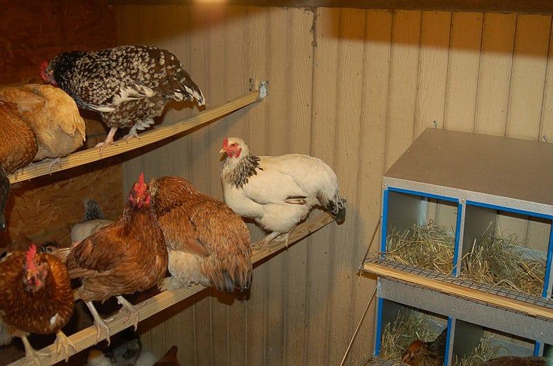 chicken perching