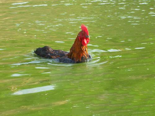 chicken swim