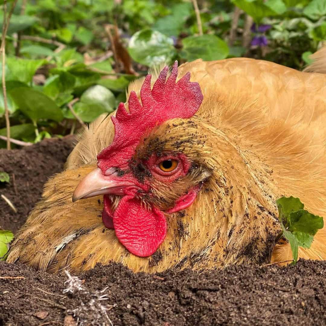 chickens dust bath