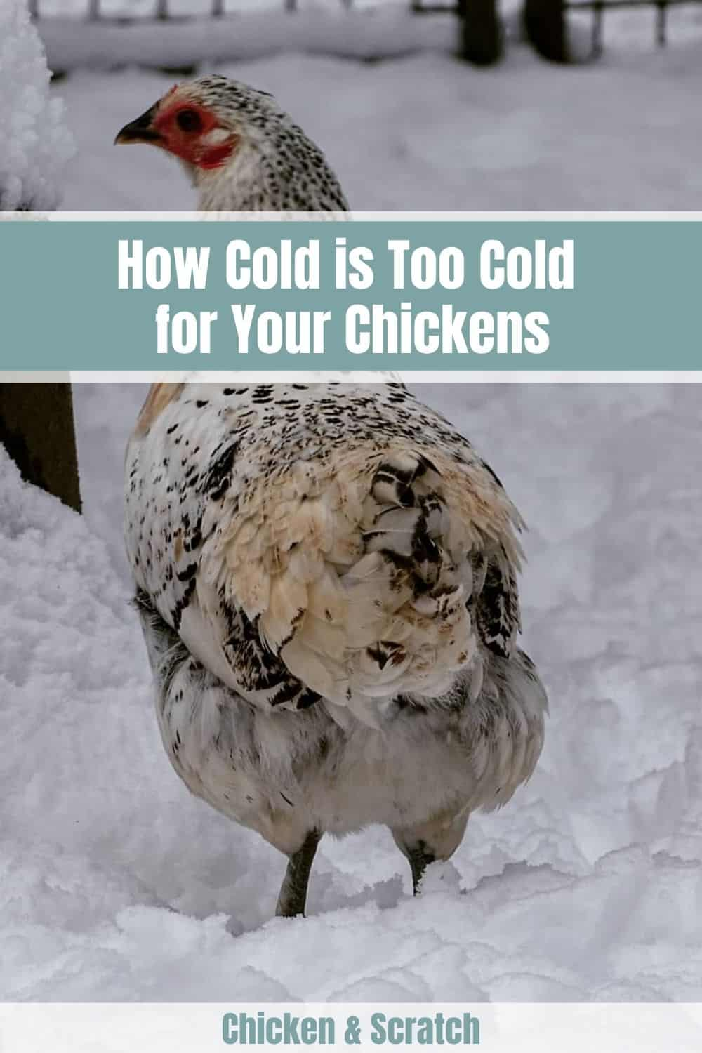 chickens in cold weather