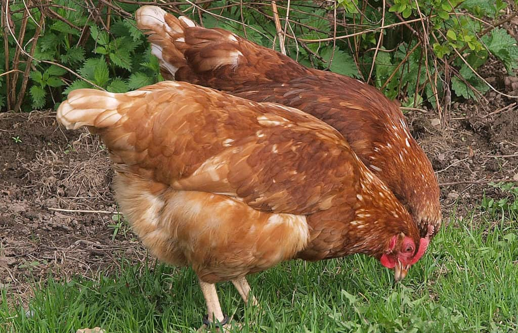 chickens lay eggs without rooster